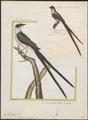 Milvulus tyrannus - 1700-1880 - Print - Iconographia Zoologica - Special Collections University of Amsterdam - UBA01 IZ16500367.tif