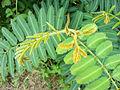 Mimosa pigra (3).JPG