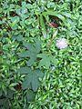 Mimosa pudica (7189129035).jpg