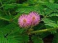 Mimosa pudica 003.JPG