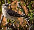 Mimus polyglottos (Northern Mockingbird), Waltham, MA, USA.jpg