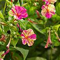 Mirabilis jalapa 'bicolor'-IMG 9208.jpg