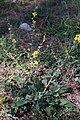 Molène noire-Verbascum nigrum-Calvisson-20140821.jpg
