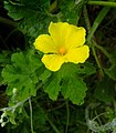 Momordica charantia flower at Rajbiraj, Saptari, Nepal (2).jpg