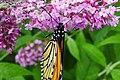 Monarch-eating.jpg