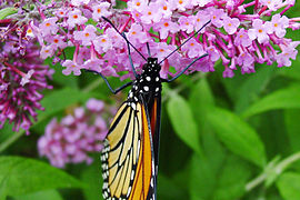 Monarch-eating.jpg