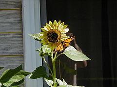 MonarchSunflowerPeteNelson.JPG