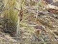 Mongolian Finch (Bucanetes mongolicus) (45902224634).jpg