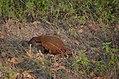 Mongoose eating Snake.jpg