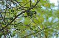 Monk Parakeet (Myiopsitta monachus) cutting branchlet (26541800315).jpg