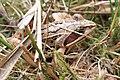 Moorfrosch Rana arvalis 7826.jpg