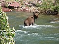 Moose along the Flathead River (34264310616).jpg