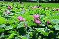 Morikawa lotus field.jpg