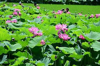 Aisai - Morikawa lotus field