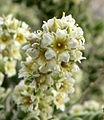 Mortonia utahensis 4.jpg