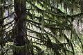 Moss Covered Tree.JPG