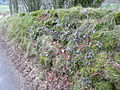 Moss and lichen covered wall on the road to Hafod Ifan - geograph.org.uk - 1170471.jpg