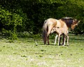 Mother and babt foal (17013968238).jpg