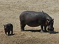 Mother hippo with her baby.jpg