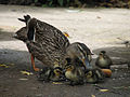 Mother mallard and ducklings eating bread.jpg