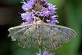 Mother of pearl moth (Pleuroptya ruralis).jpg
