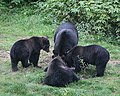 Mother with three cubs (1750419709).jpg
