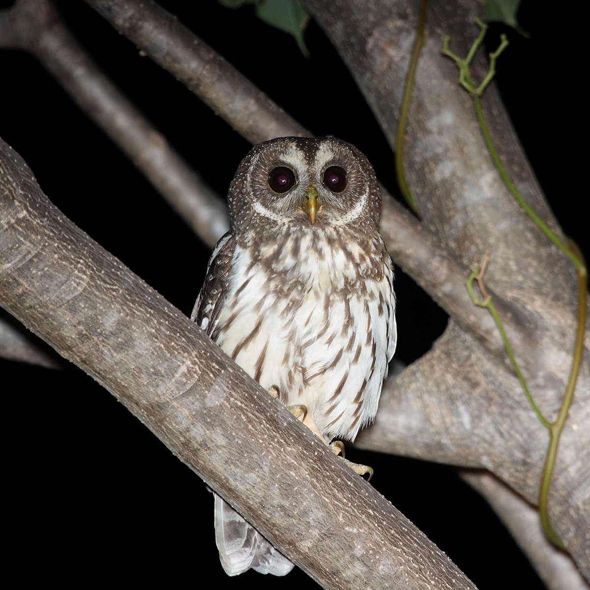 Mottled Owl Wikipedia