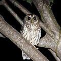 Mottled Owl.jpg