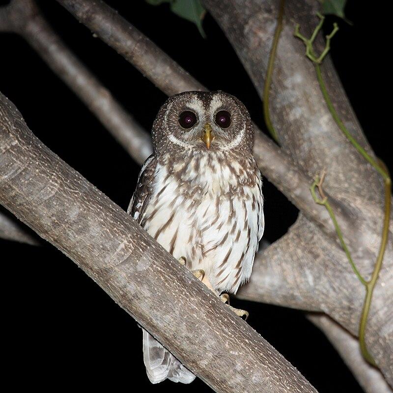 Ficheiro:Mottled Owl.jpg