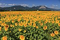 Mount Ryu and Mount Fujiwara with Sunflower field.jpg