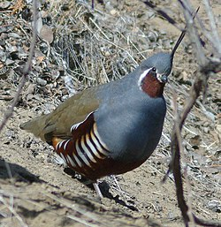 Mountainquail (cropped).jpg