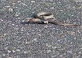 Mozambique Spitting Cobra (Naja mossambica) juvenile (13849356095).jpg