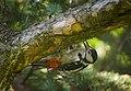 Mrs Woodpecker (48136486397).jpg