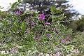 Mundulea sericea-2179 - Flickr - Ragnhild & Neil Crawford.jpg