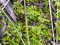 Musgo Thuidium abietinum var. abietinum 2010-3-07 SierraMadrona.jpg