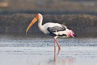 Stork - Painted stork