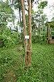 Myrciaria cauliflora à São Tomé (2).jpg