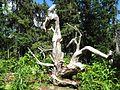 Mystic Tree.jpg