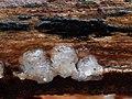 Myxarium nucleatum 111870446.jpg