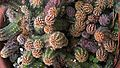 N20140829-0003— Echinopsis chamaecereus (15077550595).jpg