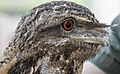 NQld Frogmouth-02 (11337226746).jpg