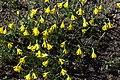 Narcissus asturiensis GotBot 2015 002.jpg