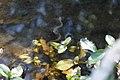 Natrix tessellata in Stara reka, Botevgrad, Bulgaria.jpg
