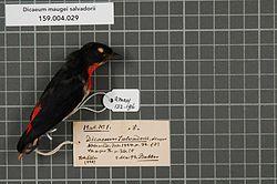 Naturalis Biodiversity Center - RMNH.AVES.132196 1 - Dicaeum maugei salvadorii Meyer, 1884 - Dicaeidae - bird skin specimen.jpeg