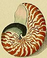 Nautilus detail in 1769 art, Neues systematisches Conchylien-Cabinet (Tab. XIX) (7186618759) (cropped).jpg