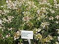 Navadna-milnica (Saponaria officinalis).jpg