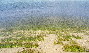 Posidonia oceanica - Posidonia oceanica (L.) Delile at Naxos, Greece