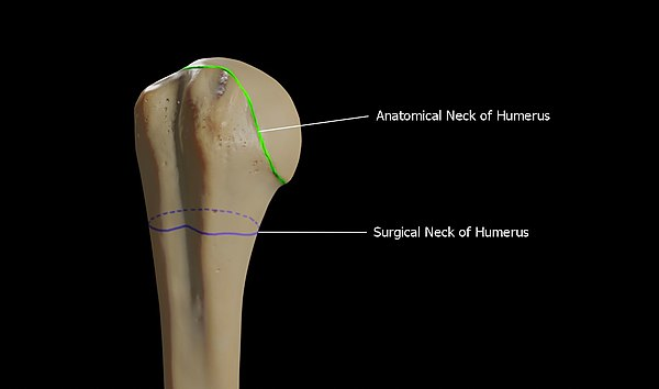 Anatomical Neck vs Surgical Neck of Humerus