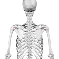 Neck of scapula01.png