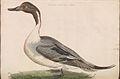 Nederlandsche vogelen (KB) - Anas acuta (176b).jpg